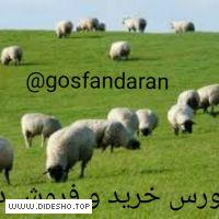 کانال بزرگ گوسفنداران